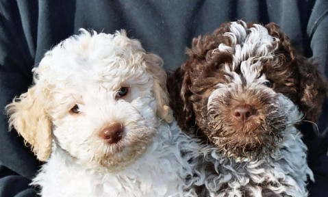 Lagotto Romagnolo Puppies Flickr Photo Sharing