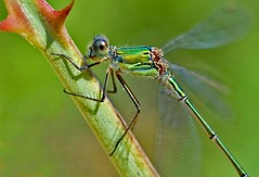 Willow Emerald Damselfly, by euthiv