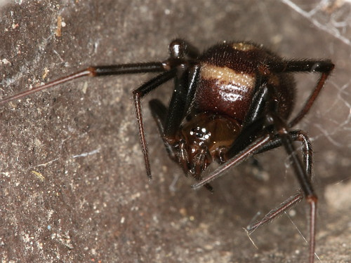 Steatoda grossa - Roof Balcony - 03