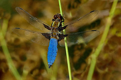 Broad-bodied chaser, by euthiv
