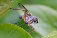 Snipe-fly (Rhagio scolopaceus), by Primoz Fidersek