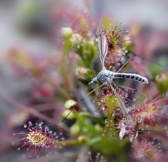 Insect caught on a Sundew (Drosera rotundifolia), by Novemberkind