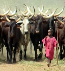 cow boy