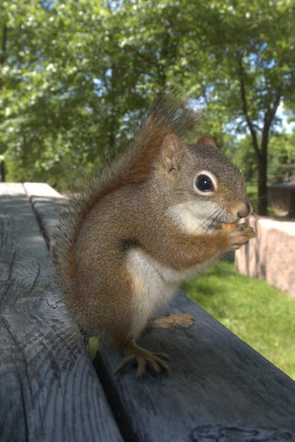 Brown Squirrel  Flickr  Photo Sharing