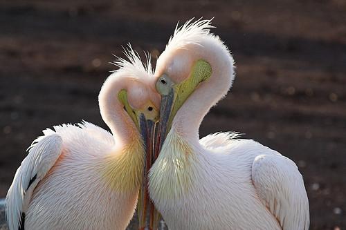 Pelicans in love by jdlasica