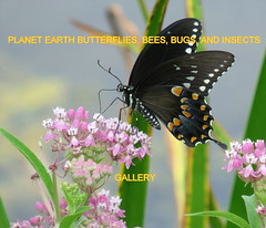 PLANET EARTH BUTTERFLIES, BEES, BUGS, AND INSECTS group gallery. Showcase galleries on display in PLANET EARTH NEWSLETTER. New Updates ck. out these amazing photos. Group will start its first contest on 4/1/2011.