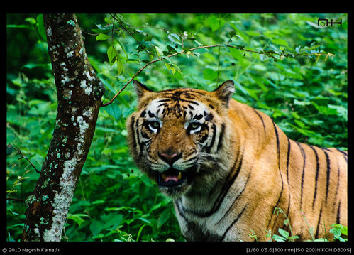 Royal Bengal Tiger | Tavarekoppa Tiger and Lion Safari