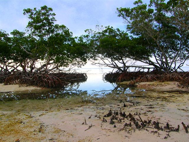 Mangles en Cayo Jutías, Pinar del Río