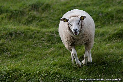 Animal Rights Wallpaper Angry Sheep