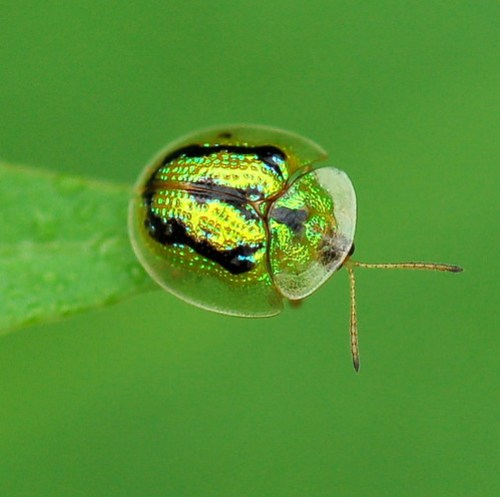 Aspidomorpha furcata