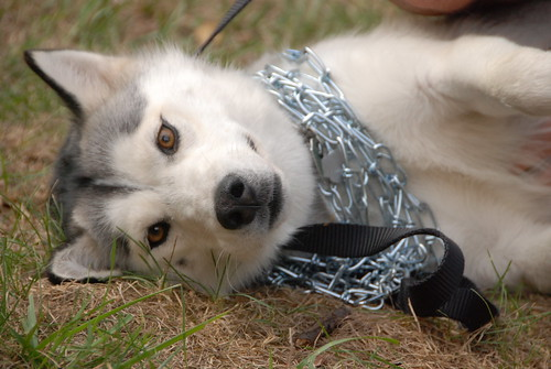 Chains on Dog