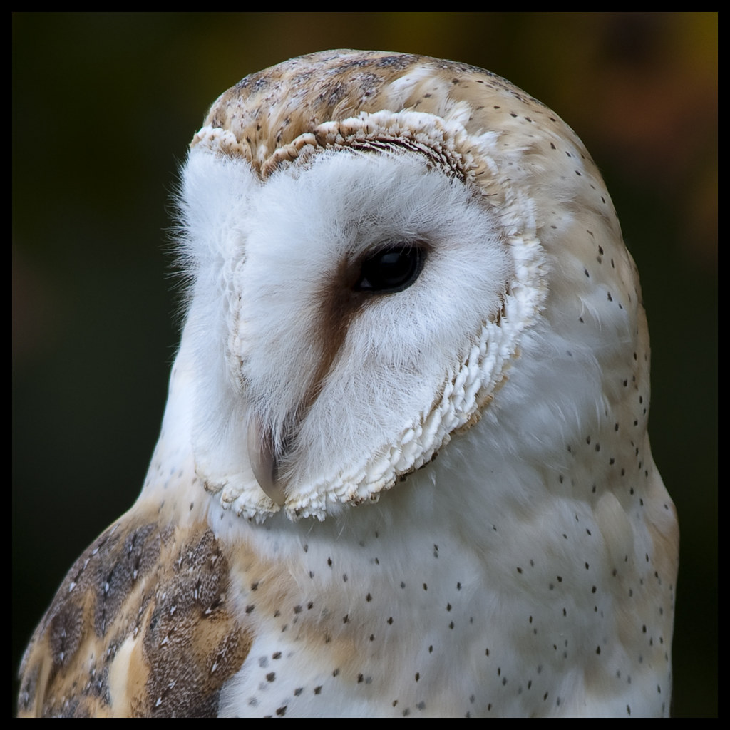 Barn owl portrait 1
