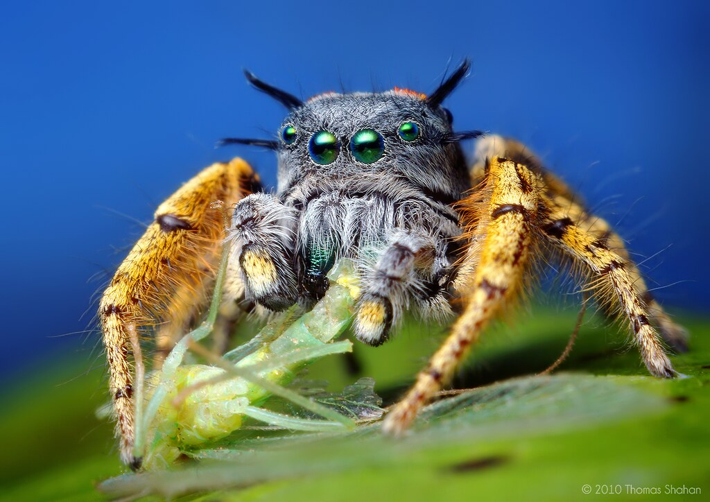 Adult Male Phidippus mystaceus feeding on a Chrysopid - With Video!