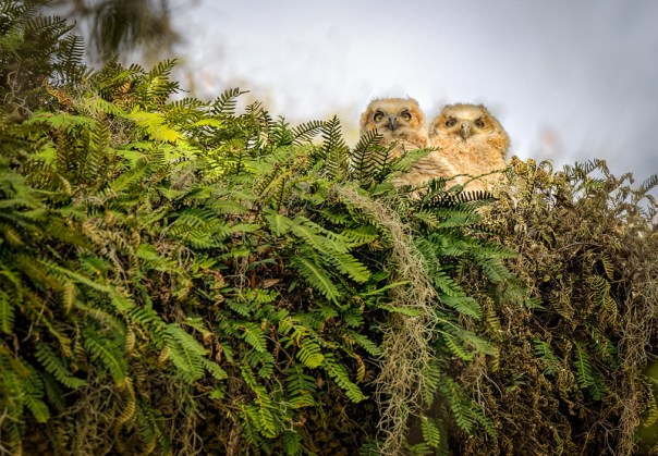 Great Horned Owl nest and chicks