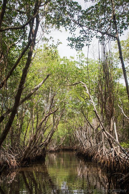 Florida Everglades Mangrove Trees