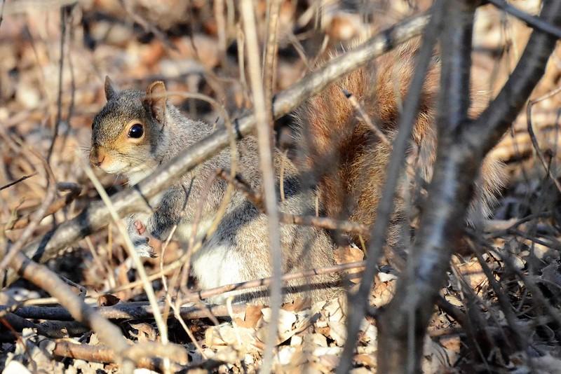 _DSC2399 Squirrel