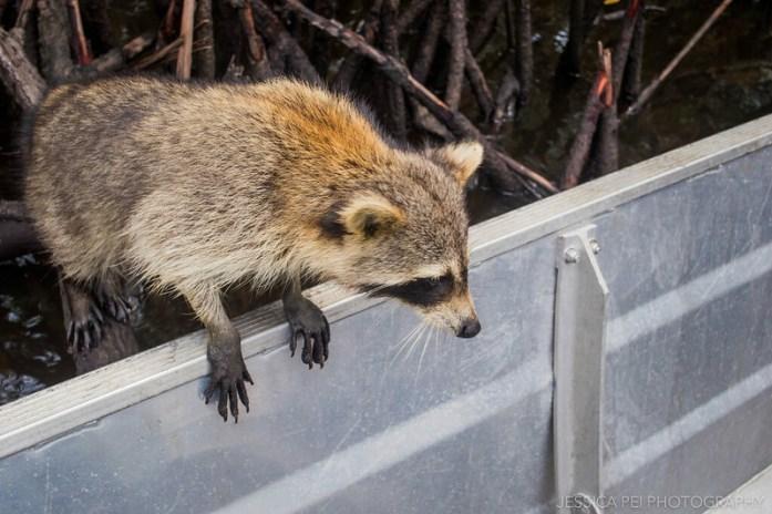 Florida Everglades Raccoon