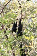 bats Timber Creek