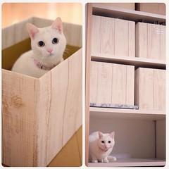 ということで、 無事仕上がりました。 もともとあった3個と合わせてようやく揃いました。 #nekomikan #みかん #しろねこ #白猫 #whitecat #白木 #箱作り #箱づくり