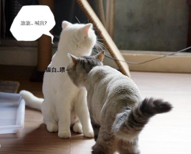 貓白白週記