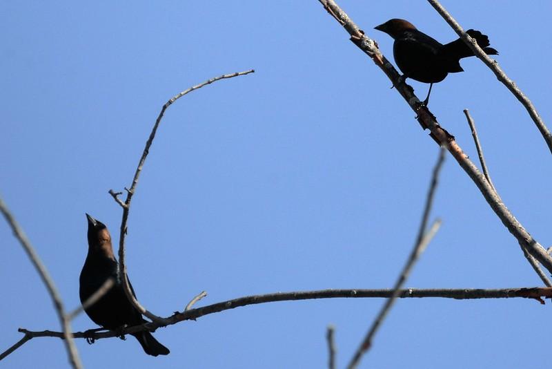 _DSC5101 Brown Headed Cowbird