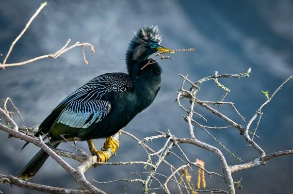 Anhinga gathering nest material