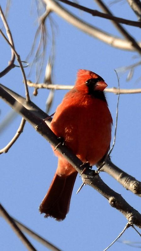 _DSC2730Northern Cardinal