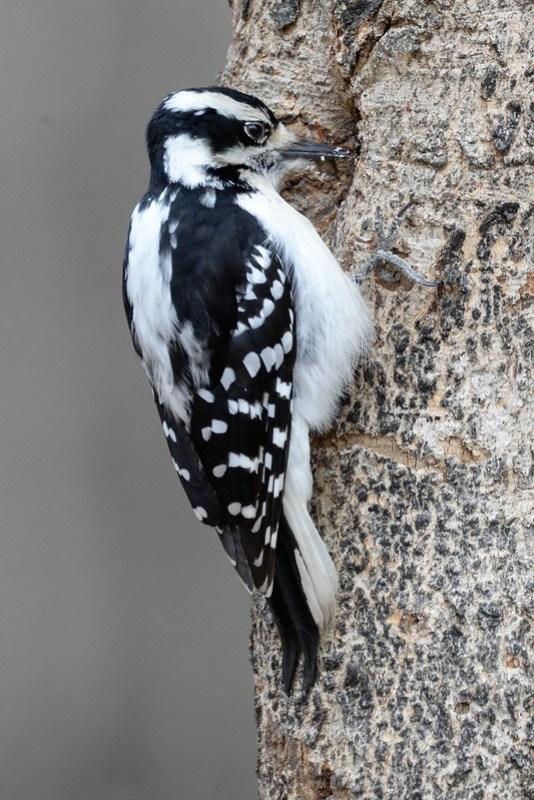 _DSC3125 Downy Woodpecker