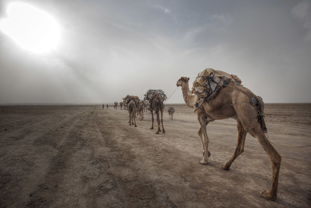 Camel caravan in the Afar region.