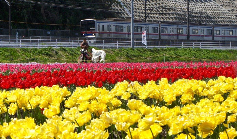 Sakura - Chiba Tulip Festa