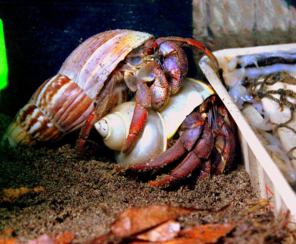 Calendar Crabs