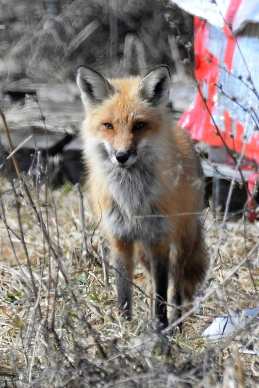 _DSC5185 Red Fox