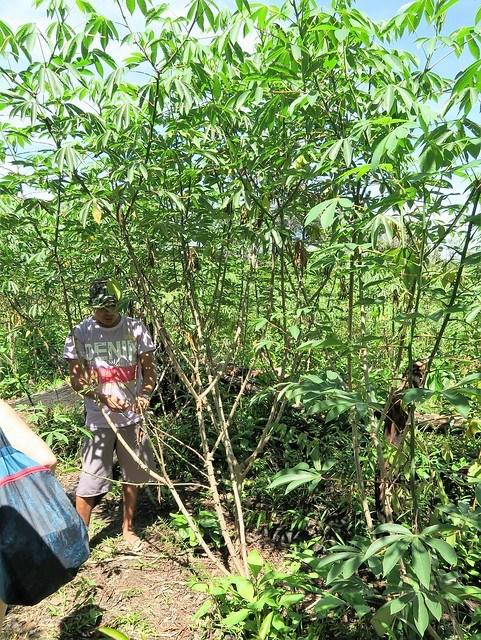 tapioca tree amazon rainforest