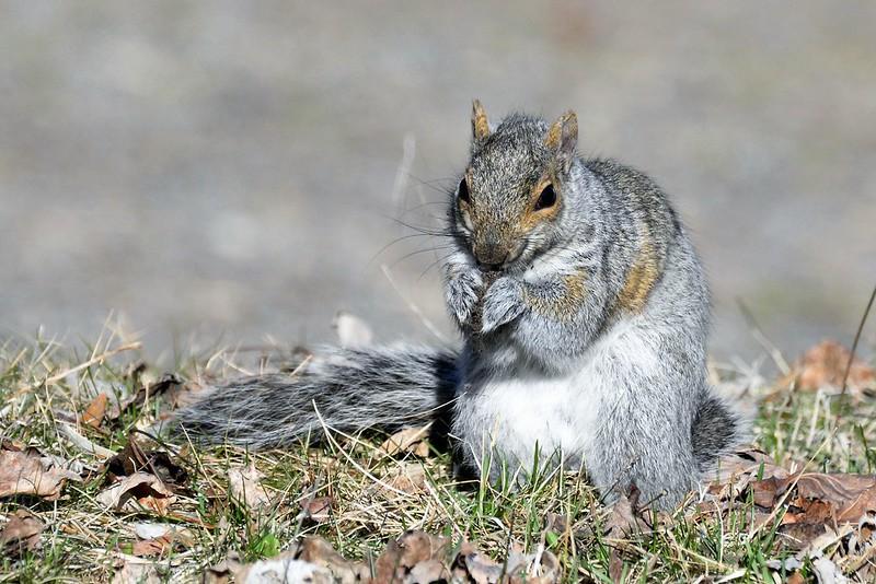 _DSC6110 Gray Squirrel