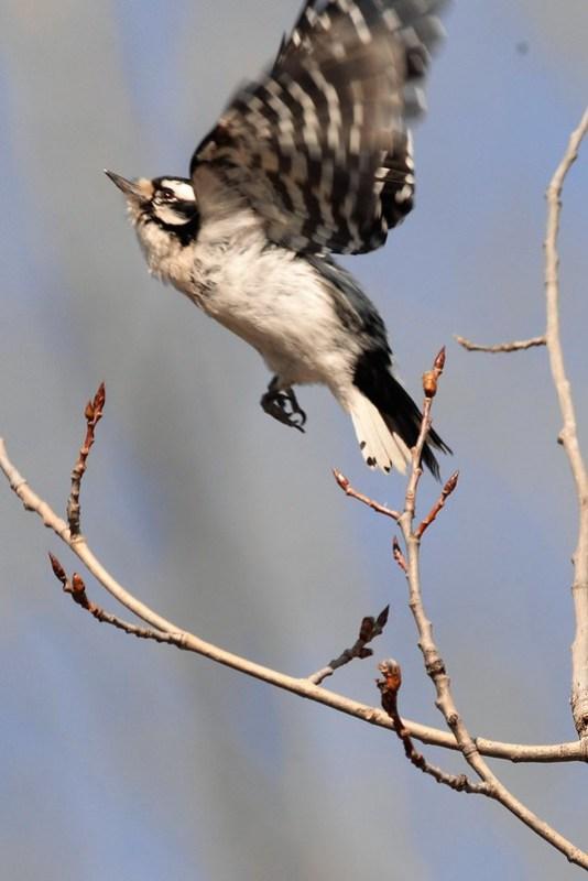 _DSC3624 Downy Woodpecker