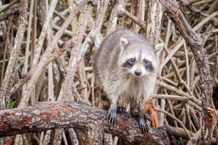Florida Everglades Raccoons