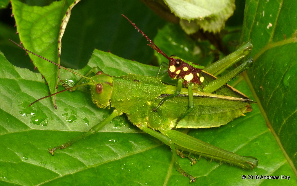 Agriacris magnifica mating