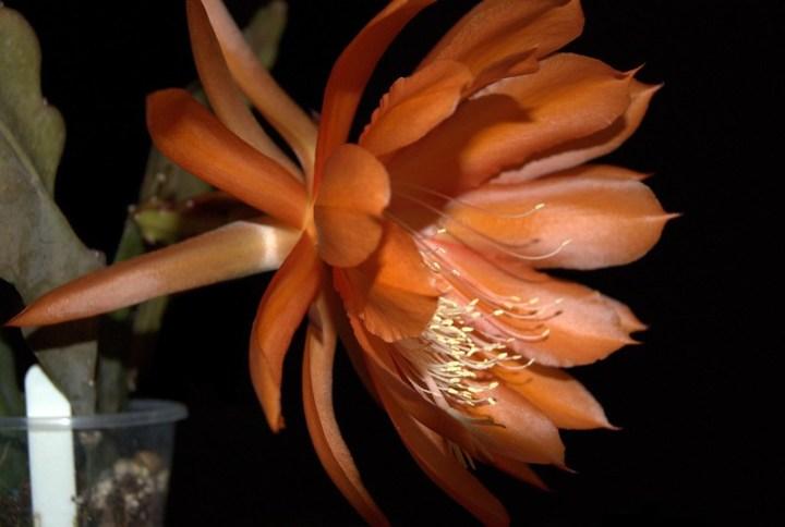 Epiphyllum cv. Jersey Beauty