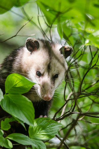 Yard Possum-6