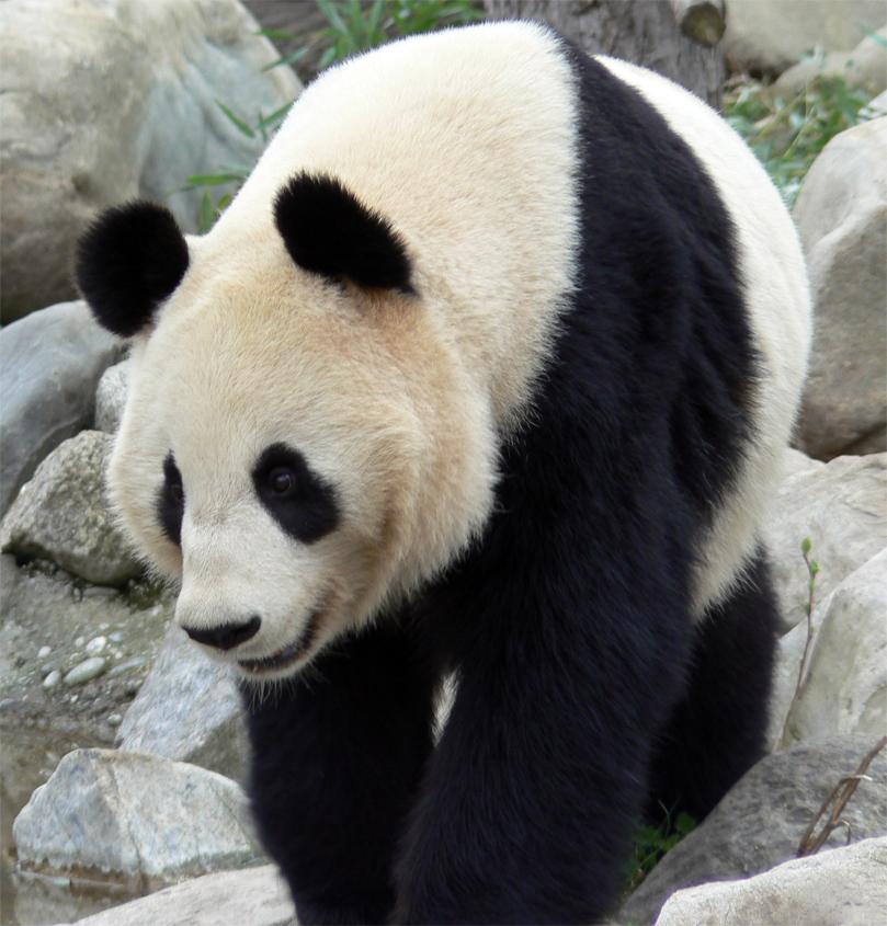 Imagen gratis de un oso panda