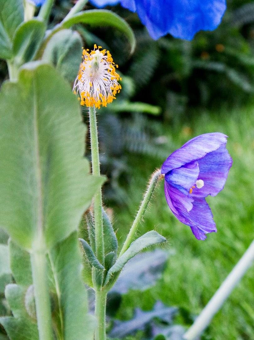 longwood-blue-poppy-purple-streaks