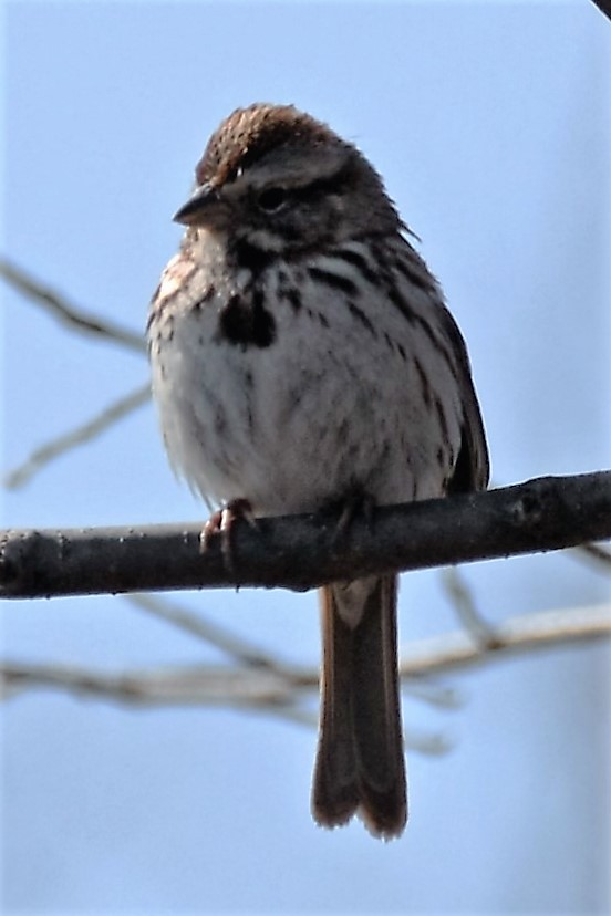 _DSC5097 Song Sparrow