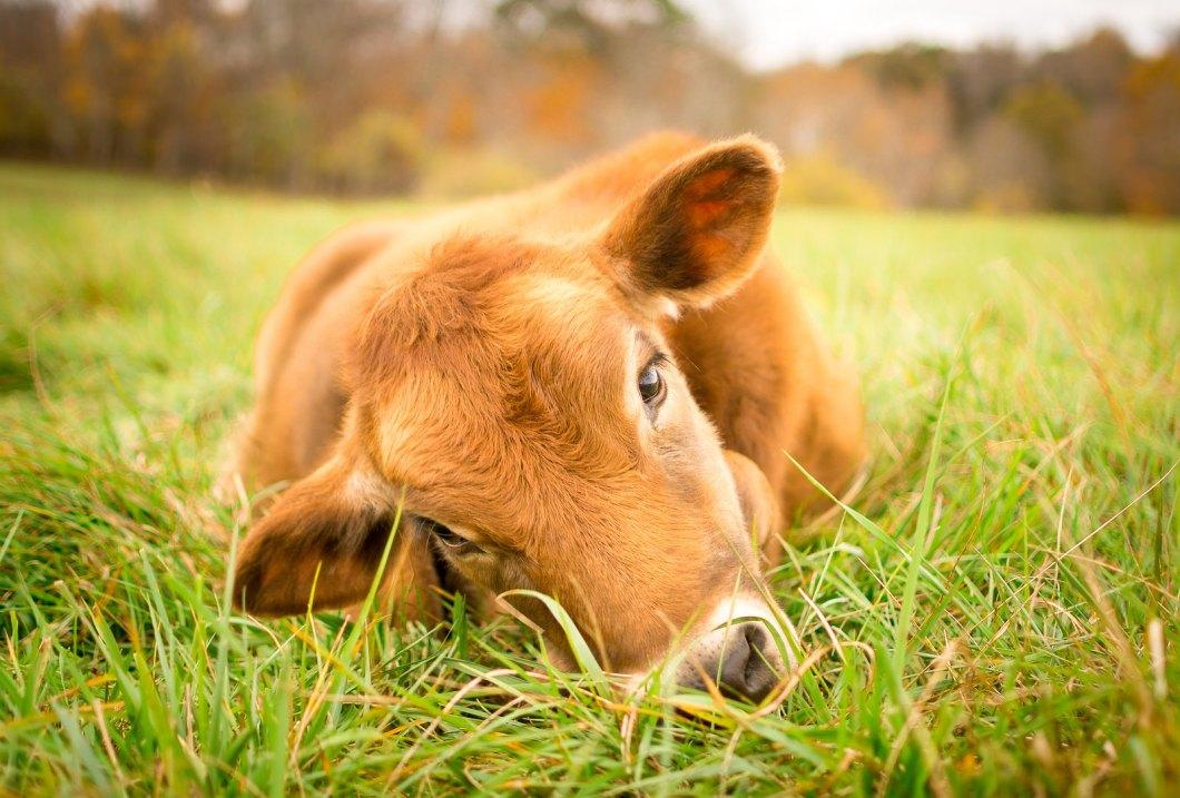 Imagen gratis de una vaca en la hierba