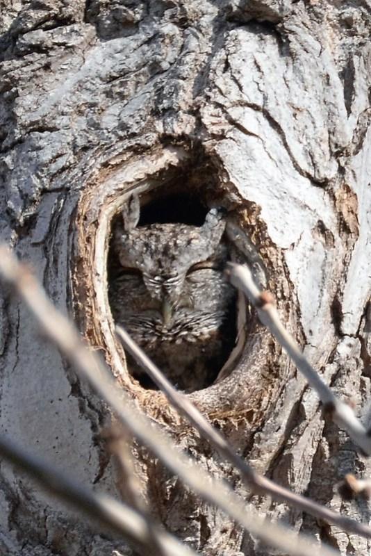 _DSC6034 Screeh owl