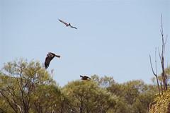 birds of prey hunting