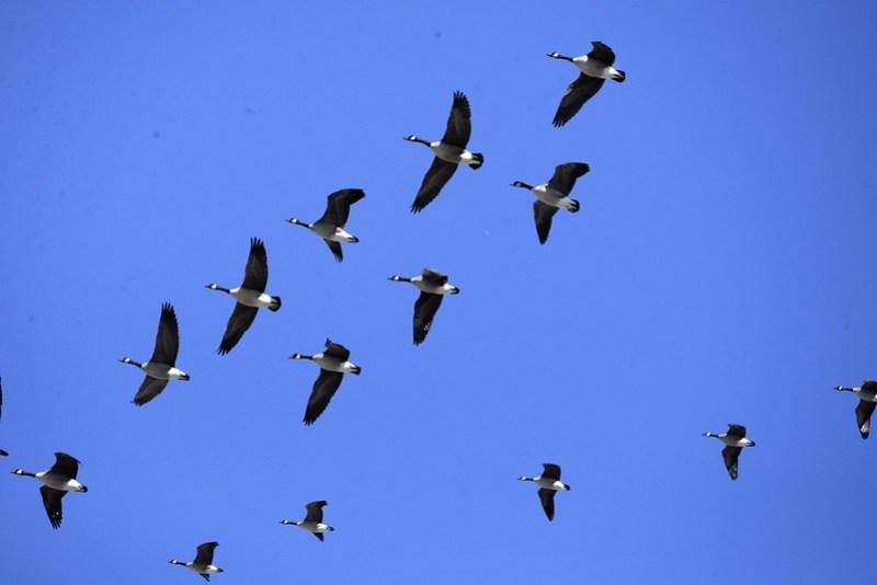 _DSC2889 Canada Goose