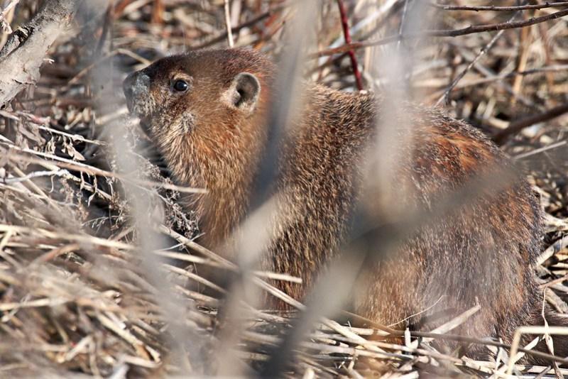 _DSC3907 Groundhog