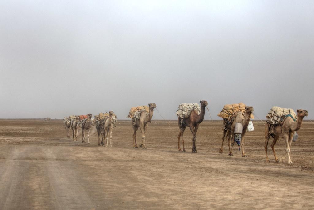 Camel caravan in the Afar region.