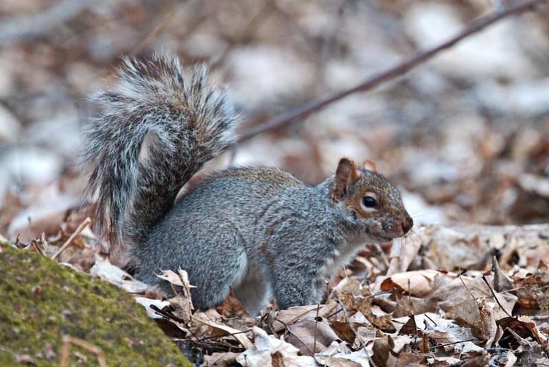 _DSC4321 Gray Squirrel