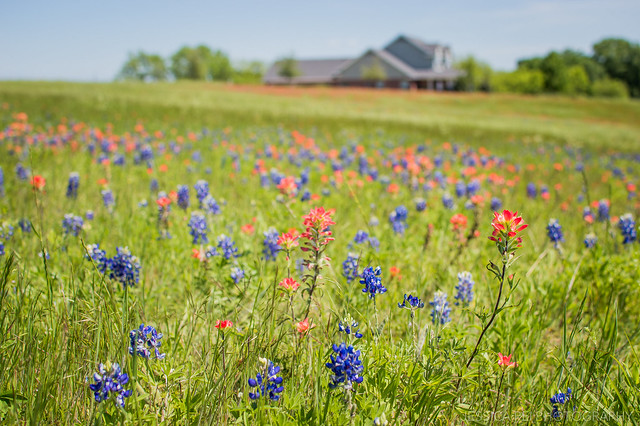 Ennis Texas Bluebonnet Fields